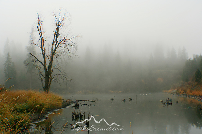 A spooky tree on the foggy shore of Fernan lake is Reflected in the water.