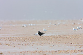 Carrion Crow (Corvus corone corone) alone searching through molluscs on sandy beach, Ainsdale, with a very cold winter wind driving an incoming snow storm. Extra Low Spring Tide has exposed a massive bounty of food, attracting some 100000 gulls and other birds.