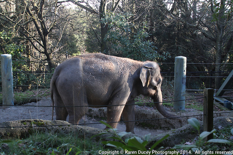 Elephants at the Woodland Park Zoo. <br /> (photo &copy; Karen Ducey Photography)