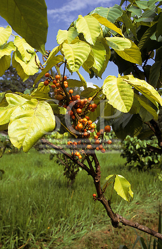 Amazon, Brazil. Guarana (Paullinia cupana) fruit with distinctive black eyed, orange seed pods growing on a bush.