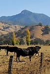 Cattle in Alexander Valley