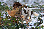 Pix: Shaun Flannery/shaunflanneryphotography.com...COPYRIGHT PICTURE>>SHAUN FLANNERY>01302-570814>>07778315553>>..19th December 2009................Brodsworth Shoot..English Springer Spaniel retrieves a bird.