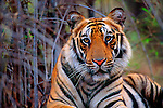 Portrait of a bengal tiger in the forest of Bandhavgarh National Park, Madhya Pradesh, India.