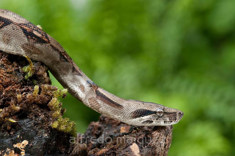 Boa constrictor snake (Boa constrictor constrictor), Soberania national park, Panama, Central America