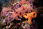 Santa Cruz Island, Channel Islands National Park and National Marine Sanctuary, California; several Ochre Sea Stars (Pisaster ochraceus) and Purple Sea Urchins cling to the rocky reef , Copyright © Matthew Meier, matthewmeierphoto.com All Rights Reserved