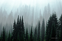 Forest and Fog, Mount Rainier National Park, Washington