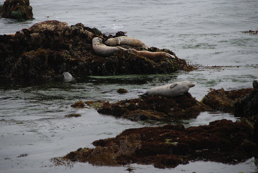 Harbor seals, Pacific Grove, California