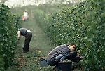 'WINE IN ENGLAND, SOMERSET', GRAPE PICKING AT PILTON MANOR VINEYARD. THIS VINEYARD IS ONLY A FEW MILES AWAY FROM NORTH WOOTTON VINEYARD, 1989
