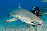 Caribbean reef shark swmming at camera, being fed by feeder in chainmail suit, Carcharhinus perezi, St Maarten, Caribbean.