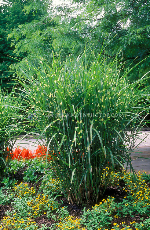 miscanthus sinensis 39 strictus 39 plant flower stock photography. Black Bedroom Furniture Sets. Home Design Ideas