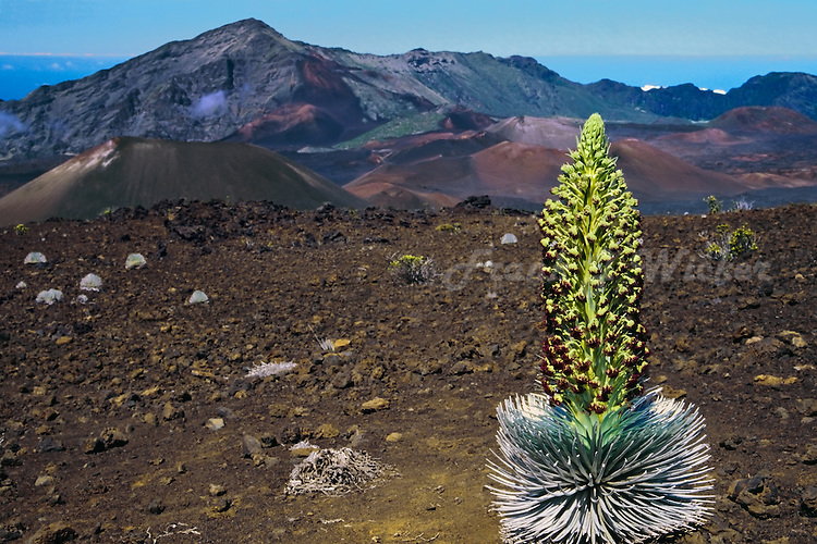 Mature Silversword plant overlooks the craterof HALEAKALA NATIONAL PARK  on Maui in Hawaii