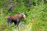 Young moose eating spruce boughs