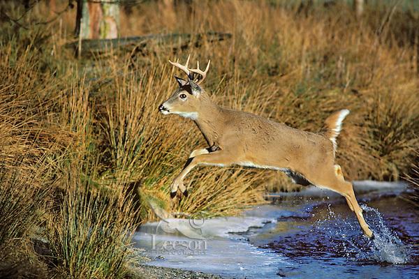 MD422  White-tailed Deer Buck jumping across stream.  Western U.S.  November.