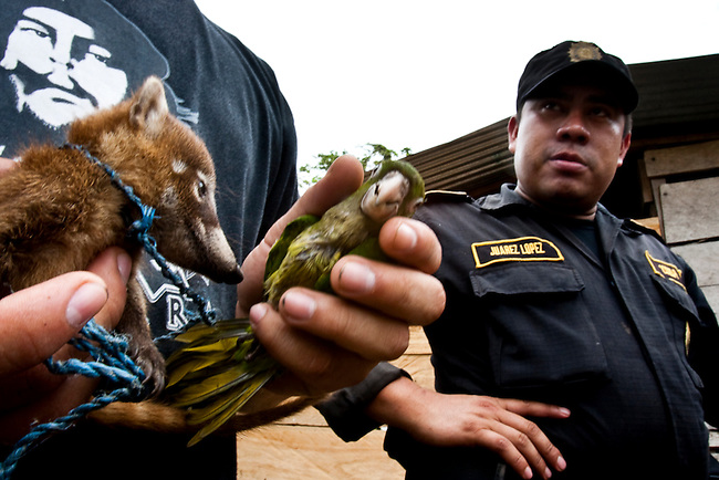 A forest guard holds a Parrot and a Pizote captured during an eviction of an illegal community inside the Mayan Biosphere.