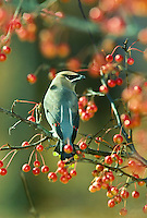 Cedar waxwing bird from behind perched among crabapples