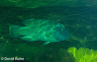 0514-1001  Humphead Wrasse (Giant Wrasse or Napoleon wrasse), Cheilinus undulatus  © David Kuhn/Dwight Kuhn Photography