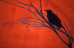 Crow sitting in dead tree in front of red rock at sunset, Uluru National Park, Australia