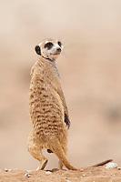 Standing meerkat looks over his shoulder