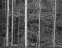 &quot;Trees Awaiting Spring&quot; Great Smoky Mountains National Park, Tennessee<br /> <br /> To my eyes, most trees display tense energy immediately before new leaves are pushed from branches in early spring. This photograph was an attempt to convey that energy in a black and white print. The scene was located on the shaded side of a mountain and scene contrast was low so I expanded image contrast by increasing the negative development time.
