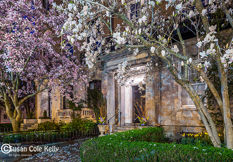 95 Beacon Street with Magnolias, Boston, Massachusetts, USA