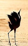 Red Crowned Crane, Grus japonensis, Displaying against rising sun, Hokkaido Island, japanese, Asian, cranes, tancho, crested, white, black,  wilderness, wild, untamed, photography, ornithology, silhouette snow.Japan....