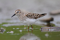 Adult Least Sandpiper (Calidris minutilla) in breeding (alternate) plumage. King County, Washington. April.