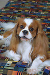 Cavalier King Charles Spaniel<br />