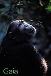 Portrait of Gaia<br /> Female Eastern Chimpanzee (Pan troglodytes schweinfurthii)<br /> Gombe National Park, Tanzania , East Africa 2004