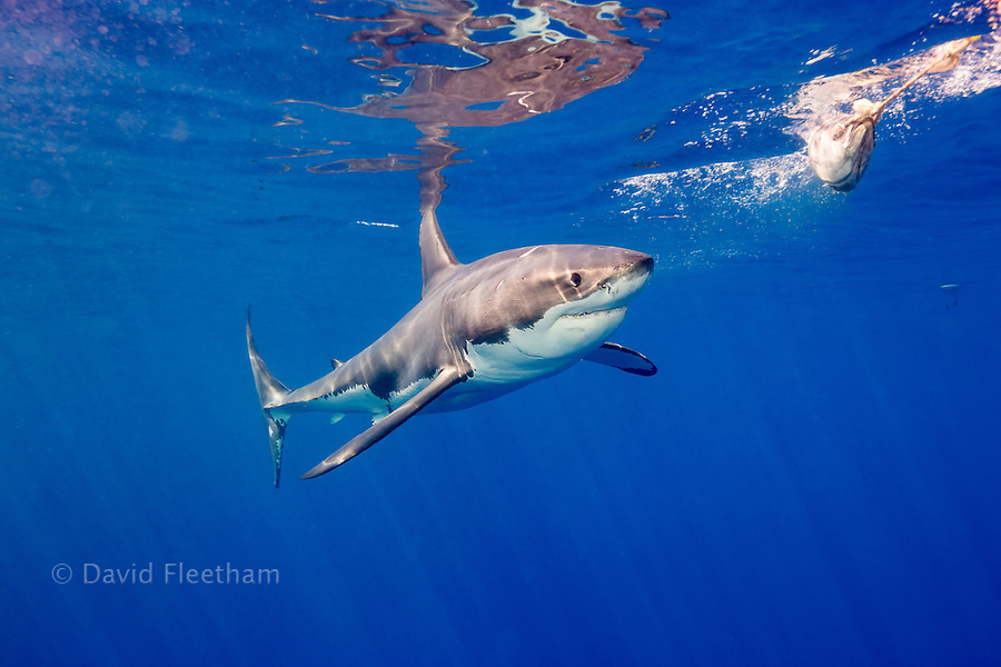This great white shark, Carcharodon carcharias, was photographed moving towards bait off Guadalupe Island, Mexico.