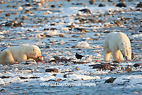 01874-11906 Polar Bears (Ursus maritimus) at seal kill, Churchill Wildlife Management Area, Churchill, MB Canada