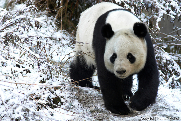 Giant Panda, Ailuropoda melanoleuca, walking in snowy landscape, Wolong Research and Conservation Centre, Sichuan (Szechwan) Province Central China, can handle bamboo with great dexterity with extended sesamoid bone in wrist which acts like false thumb, r