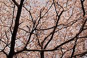 Cherry blossoms (sakura) in Japan.