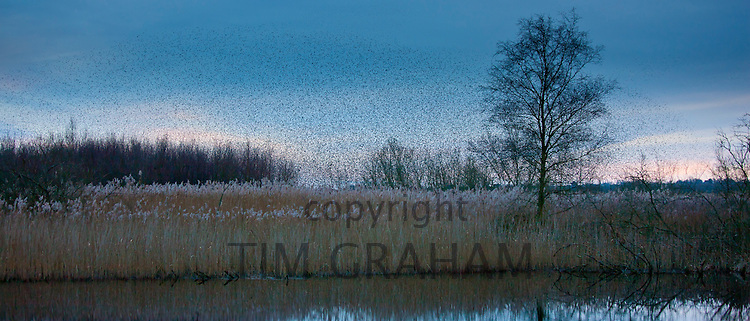 Starlings, a murmuration of a million birds gather to roost on Avalon Marshes at Shapwick Heath Nature Reserve, UK