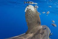 Oceanic white tip, Carcharhinus longimanus, Mozambique Channel, Indian Ocean, Africa