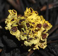 Brown-eyed Sunshine Lichen (Vulpicida canadensis). Wawona area. Yosemite National Park. Mariposa Co., Calif.