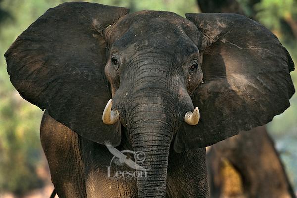 Aggressive (Bluff Charge) African Elephant bull. (Loxodonta Africana) Africa.