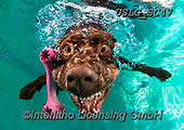 REALISTIC ANIMALS, REALISTISCHE TIERE, ANIMALES REALISTICOS, dogs, paintings+++++SethC_Lupo_CU8A0614rev2,USLGSC47,#A#, EVERYDAY ,underwater dogs,photos,fotos ,Seth