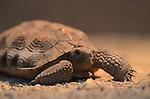 young desert tortoise