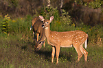 White-tailed doe and fawn feeding in an autumn meadow.
