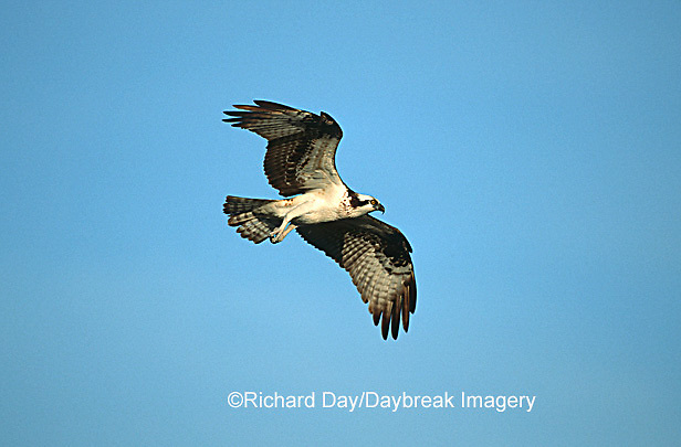 00783-010.14 Osprey (Pandion haliaetus) female in flight    FL