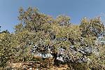 Israel, Jezreel Valley. Mount Tabor Oak (Qyercus Ithaburensis) tree in Mishmar Haemek