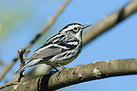 Adult male Black-and-white Warbler (Mniotilta varia) in breeding plumage. St. Lawrence County, New York. May
