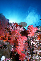 Soft Corals adorn a Coral Reef, Republic of Palau, Micronesia.