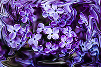 Blue-purple Lilac flowers in abstract.