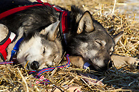 Dallas Seavey's dogs sleep in the warm sun at the Shageluk village checkpoint during the 2011 Iditarod race.