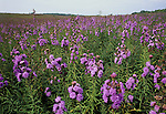 Blazing star (Liatris borealis) blooming on the Kennebunk Plains, Kennebunk, Maine, USA