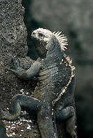 Marine iguana are the world's only sea lizards and are found only in the Galápagos Islands. Growing to nearly one meter, males feed on algae and are strong swimmers who can dive to a depth of 10m, and stay submerged for almost an hour