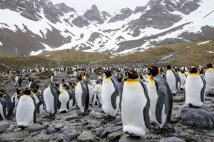 King Penguin (Mirounga leonina) colony. Right Whale Bay, South Georgia. November.