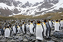 King Penguin (Mirounga leonina) colony. Right Whale Bay, South Georgia. November.