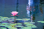 One of the beautiful water lillies on display at the Botanical Gardens in Balboa Park, San Diego CA.